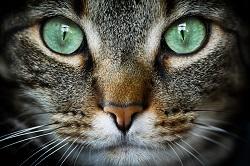 vacunacion gatos mostoles