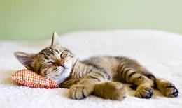veterinario gatos mostoles